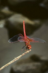 Male Darter dragonfly {Trithemis kirbyi} in obelisk position with tail pointing towards the sun to reduce heat absorption, India - PREMAPHOTOS