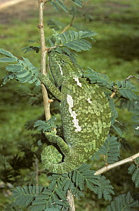 Flap necked chameleon {Chamaeleo dilepis} camouflaged on branch, South Africa - PREMAPHOTOS