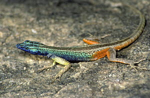 Cape flat tailed lizard {Platysaurus capensis} male in full breeding colours, South Africa  -  PREMAPHOTOS