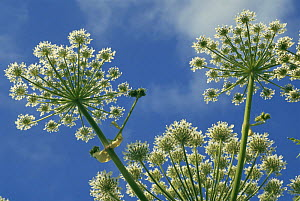 Giant hogweed {Heracleum mantegazzianum} Scotland, UK  -  Duncan Mcewan