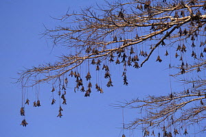 {Parkia pendula} tree with seedpods hanging down from branches, Amazonia, Brazil - Nick Gordon