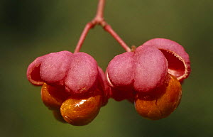 Spindle tree flowers {Euonymus europaeus} Germany  -  Ingo Arndt