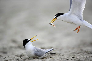 Little Tern (Sternula albifrons) courtship, male flying towards the female with an offer of fish, Vistula River, Poland.  -  Artur Tabor