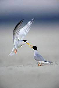 Little Tern (Sternula albifrons) courtship, male displaying to female as he offers her fish, Vistula River, Poland.  -  Artur Tabor
