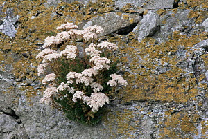 White stonecrop {Sedum album} flowering in stone wall, Scotland, UK  -  Brian Lightfoot