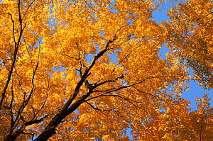 Sugar maple tree {Acer saccharum}canopy  leaves in autumn, USA  -  Larry Michael