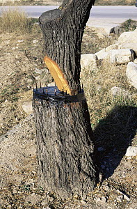 Almond tree {Prunus dulcis} stem recently grafted on to root, Alicante, Spain  -  Jose B. Ruiz