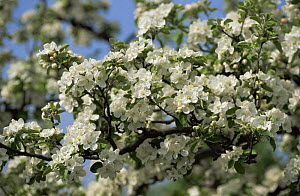Blossom on Apple tree {Malus sp} Germany  -  Christoph Becker