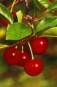 Cherries on Cherry tree {Prunus cerasus} Wisconsin, USA  -  Larry Michael