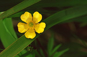 Common cinquefoil {Potentilla simplex} Wisconsin, USA  -  Larry Michael