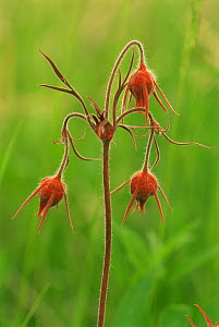 Prairie smoke flowers {Geum trifolium} Wisconsin, USA  -  Larry Michael