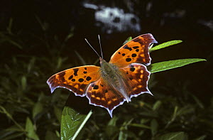Question mark butterfly {Polygona interrogationis} New Jersey, USA  -  PREMAPHOTOS