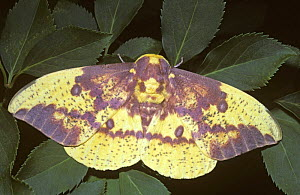 Male Imperial moth {Eacles imperialis} South Carolina, USA  -  PREMAPHOTOS