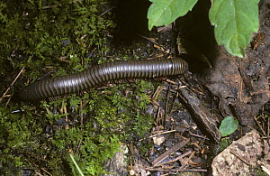 Millipede {Narceus americanus} in deciduous forest, South Carolina, USA  -  PREMAPHOTOS