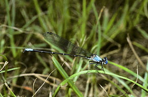 Blue-fronted dancer damselfly {Argia apicalis} male, South Carolina, USA  -  PREMAPHOTOS