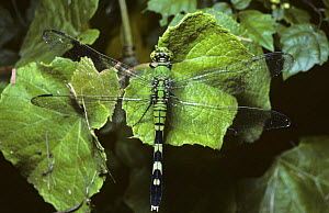 Eastern pondhawk dragonfly {Erythemis simplicicollis} South Carolina, USA  -  PREMAPHOTOS