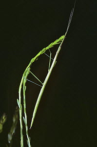 Slender-bodied walkingstick / stick insect (Manomera tenuescens) which has just emerged at dusk to feed, Georgia USA  -  PREMAPHOTOS