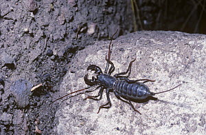 Tailed whip-scorpion or vinegaroon {Mastigoproctus giganteus} in desert, Arizona USA  -  PREMAPHOTOS