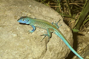 Rainbow whiptail lizard {Cnemidophorus lemniscatus} male on rock in rainforest, Venezuela  -  PREMAPHOTOS