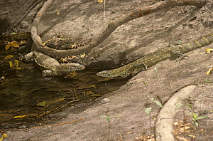 Two Nile monitor lizards {Varanus niloticus} interacting in forest pool, Gambia  -  PREMAPHOTOS