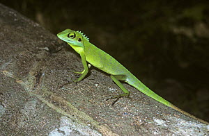 Agamid lizard {Calotes cristatellus} in rainforest, Sumatra - PREMAPHOTOS