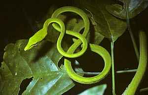 Long-nosed whip / tree snake {Ahaetulla prasina} in tree in rainforest, Sulawesi  -  PREMAPHOTOS
