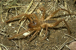 African camel / wind spider, female (Solpuga sp.) in savannah, South Africa  -  PREMAPHOTOS