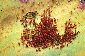 A cluster of Thrips {Thysanoptera} red nymphs with some black adults on garden plant, Thailand  -  PREMAPHOTOS