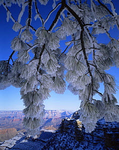 Snow covered Ponderosa Pine (Pinus ponderosa) branches with North Rim in the Background, Grand Canyon NP, Arizona, USA  -  Jack Dykinga