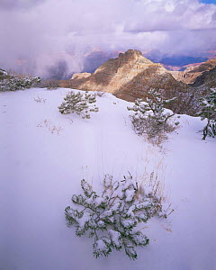 Snow covered Pinyon Pine (Pinus edulus) saplings buried in new snow with snow storm and canyon in the background, Grand Canyon NP, Arizona, USA  -  Jack Dykinga