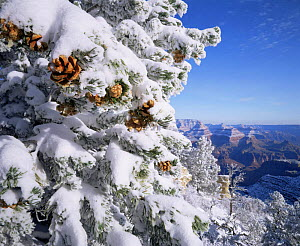 Snow covered Pinyon Pines (Pinus edulus) with pine cones, overlooking the West Rim, Grandview Point, Grand Canyon NP, Arizona, USA  -  Jack Dykinga