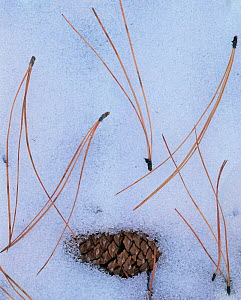 Ponderosa Pine (Pinus ponderosa) pine cone and needles in the snow, South Rim, Grand Canyon NP, Arizona, USA  -  Jack Dykinga