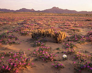 Sand Verbena (Abronia villosa), Desert Club Cholla (Opuntia kunzei) and Birdcage Evening Primrose (Oenothera deltoides) flowering on Pinta Sands at dawn, Sierra Pinta Mtns, Cabeza Prieta NW Refuge, Ar... - Jack Dykinga