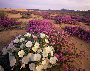 Sand Verbena (Abronia villosa) and Birdcage Evening Primrose (Oenothera deltoides) flowering on Pinta Sands, Sierra Pinta Mtns, Cabeza Prieta NW Refuge, Arizona, USA - Jack Dykinga