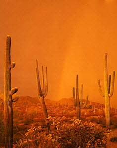 Saguaro Cacti (Carnegiea gigantea) in a summer storm at sunset, with a rainbow in the background, Maricopa Mountains, Sonoran Desert National Monument, Arizona, USA  -  Jack Dykinga