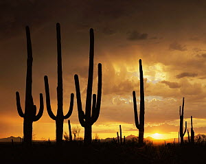 Saguaro Cacti (Carnegiea gigantea) silhouetted against the sunset in the Silver Bell Mountains, Saguaro NP, Arizona, USA  -  Jack Dykinga