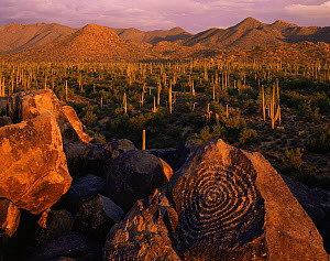 Signal Hill petroglyphs at sunset with Saguaro Cacti (Carnegiea gigantea) and Tucson Mountains in the background, Saguaro National Monument, Arizona, USA  -  Jack Dykinga