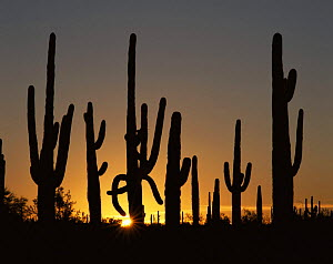 Saguaro Cacti (Carnegiea gigantea) at sunrise, Sonoran Desert National Monument, Arizona, USA  -  Jack Dykinga
