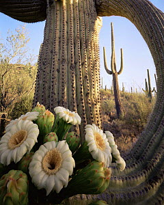 Saguaro Cactus (Carnegiea gigantea) at dawn with new flowers emerging at the tip of its limb, Saguaro NP, Arizona, USA  -  Jack Dykinga
