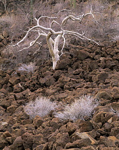 Elephant Tree (Bursera microphylla) growing in the Pico Vicente lava flow, Sonoran Desert, Baja California Sur, Mexico, Central America - Jack Dykinga