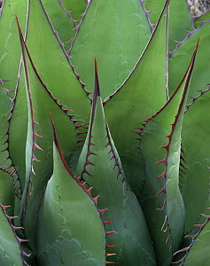 Coastal Century Plant (Agave shawii) with red edging and spines, Sonoran Desert, Baja California Sur, Mexico, Central America  -  Jack Dykinga