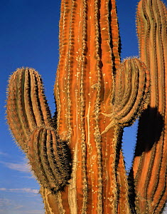 Cardon Cactus (Pachycereus pringlei) reddened on the sun exposed side, Baja California Sur, Mexico, Central America  -  Jack Dykinga