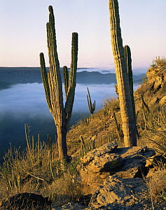 Cardon Cacti (Pachycereus pringlei) above the Vizcaino Desert in the Pacific fog, Baja California Sur, Mexico, Central America  -  Jack Dykinga