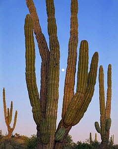 Moonrise as sunset light illuminates Cardon Cacti (Pachycereus pringlei), Vizcaino Desert, Baja California Sur, Mexico, Central America  -  Jack Dykinga