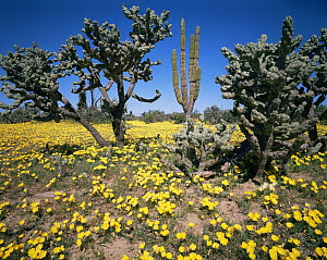 Cardon Cactus (Pachycereus pringlei) and Cholla Cactus (Opuntia cholla) amongst flowering Evening Primrose (Oenthera sp), Vizcaino Desert, Baja California Sur, Mexico, Central America  -  Jack Dykinga