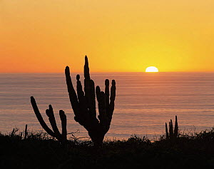 Cardon Cacti (Pachycereus pringlei) on the shore of the Pacific Ocean at sunset, Baja California Sur, Mexico, Central America  -  Jack Dykinga