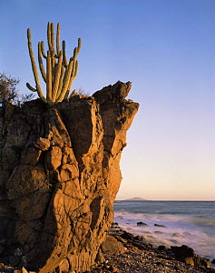 Organpipe Cactus (Cereus thurberi) rooted in volcanic rock on the coast of the Sea of Cortez at dawn, Baja California Sur, Mexico, Central America  -  Jack Dykinga
