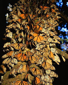 Monarch Butterflies (Danaus plexippus) covering the trunk of a coniferous tree, Sierra Chincua Monarch Butterfly Biosphere Reserve, Michoacan, Mexico, Central America  -  Jack Dykinga