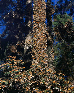 Monarch Butterflies (Danaus plexippus) clustering on trees in a coniferous forest, Sierra Chincua Monarch Butterfly Biosphere Reserve, Michoacan, Mexico, Central America - Jack Dykinga