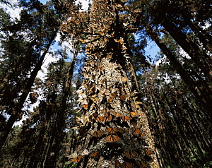 Monarch Butterflies (Danaus plexippus) covering the trunk of a tree in coniferous forest, Sierra Chincua Monarch Butterfly Biosphere Reserve, Michoacan, Mexico, Central America - Jack Dykinga